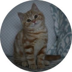 GCCF Registered Breeders of British Shorthair Cats in Scotland - Kittens
